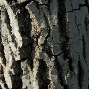 Echte Walnuss Baum Blatt Frucht gruen Juglans regia 10