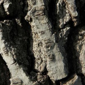 Echte Walnuss Baum Blatt Frucht gruen Juglans regia 11