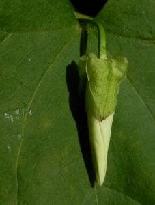 Echte Zaunwinde Blatt gruen Bluete weiss Convolvulus sepium 11