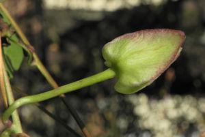 Echte Zaunwinde Knospe gruen Convolvulus sepium 08