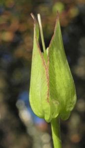 Echte Zaunwinde Knospe gruen Convolvulus sepium 16