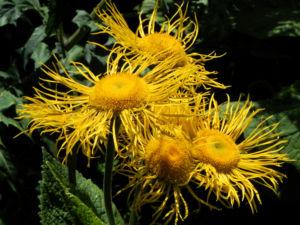 Echter Alant Bluete gelb Inula helenium 02 1