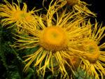 Echter Alant Bluete gelb Inula helenium 05 1