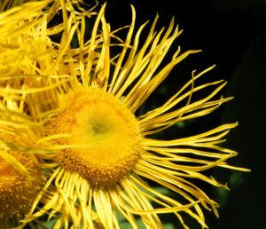 Echter Alant Bluete gelb Inula helenium 07 1