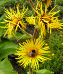 Echter Alant Bluete gelb Inula helenium 09