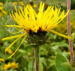 Zurück zum kompletten Bilderset Echter Alant Blüte gelb Inula-helenium