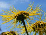 Bild: Echter Alant Blüte gelb Blatt grün Inula-helenium