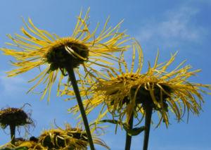Echter Alant Bluete gelb Inula helenium 11 1