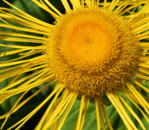 Echter Alant Bluete gelb Inula helenium 13 1