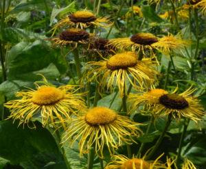 Echter Alant Bluete gelb Inula helenium 14