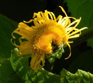 Echter Alant Bluete gelb Inula helenium 15