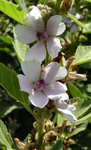 Echter Eibisch Samtpappel Bluete hell Althaea officinalis 01