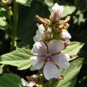 Echter Eibisch Samtpappel Bluete hell Althaea officinalis 03