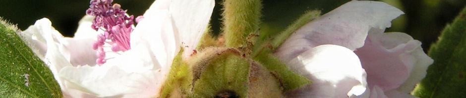 echter-eibisch-samtpappel-bluete-hell-althaea-officinalis