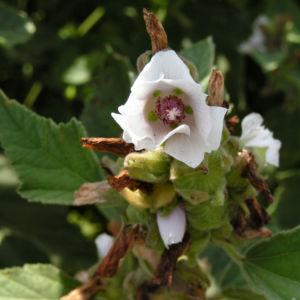 Echter Eibisch Samtpappel Bluete hell Althaea officinalis 07