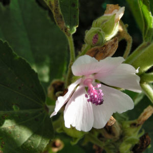 Echter Eibisch Samtpappel Bluete hell Althaea officinalis 08