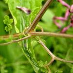 Echter Erdrauch Bluete pink Fumaria officinalis 02