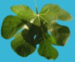 Echter Feigenbaum Blatt gruen Ficus carica 05
