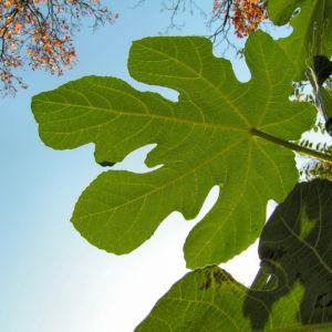 Echter Feigenbaum Blatt gruen Ficus carica 07