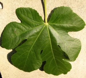 Echter Feigenbaum Blatt gruen Ficus carica 08