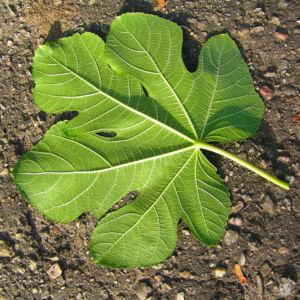 Echter Feigenbaum Blatt gruen Ficus carica 14