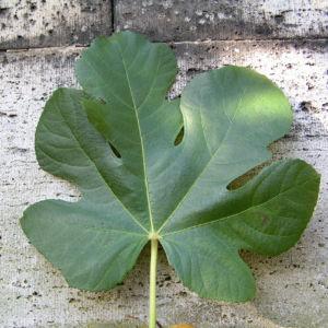 Echter Feigenbaum Blatt gruen Ficus carica 16