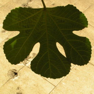 Echter Feigenbaum Blatt gruen Ficus carica 24