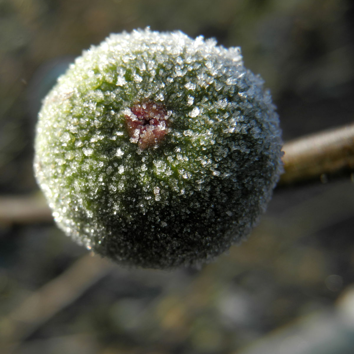 Echter Feigenbaum Frucht gruen Ficus carica