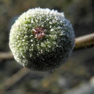 Echter Feigenbaum Frucht gruen Ficus carica 04
