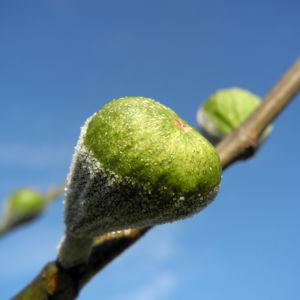 Echter Feigenbaum Frucht gruen Ficus carica 14