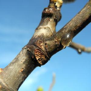 Echter Feigenbaum Rinde braun Ficus carica 01