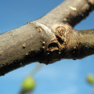 Echter Feigenbaum Frucht grün Ficus carica