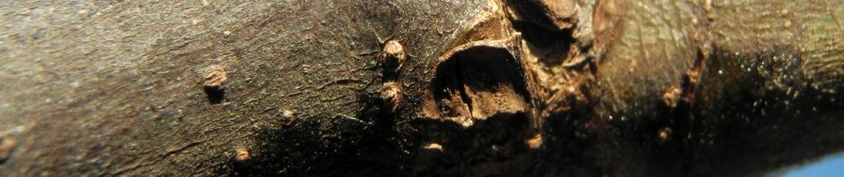 echter-feigenbaum-frucht-gruen-ficus-carica