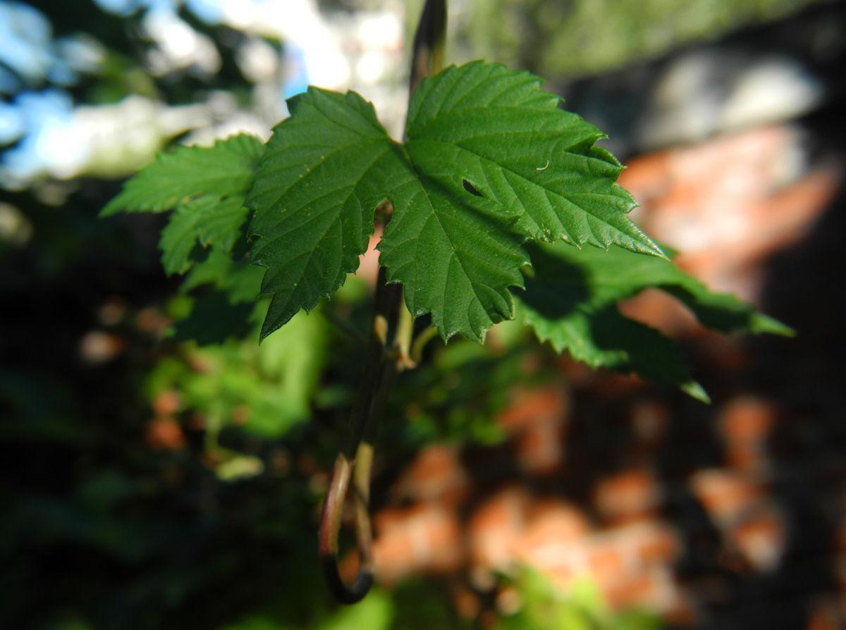 echter hopfen bluete gruen humulus lupulus