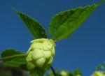 echter hopfen bluete gruen humulus lupulus 12