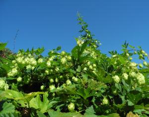 echter hopfen bluete gruen humulus lupulus 17