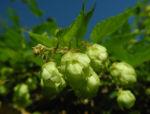 Bild: Echter Hopfen Blüte grün Humulus lupulus