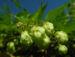 Zurück zum kompletten Bilderset Echter Hopfen Blüte grün Humulus lupulus