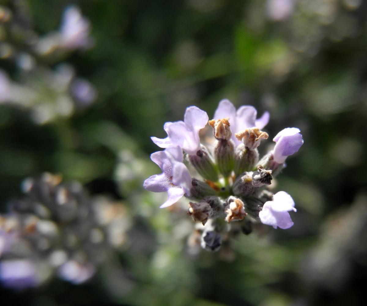echter lavendel bluete hell lila lavandula angustifolia