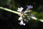 echter lavendel bluete hell lila lavandula angustifolia 06