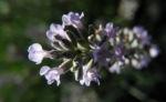 echter lavendel bluete hell lila lavandula angustifolia 08