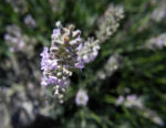 echter lavendel bluete hell lila lavandula angustifolia 09