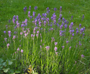 Echter Lavendel Bluete lila Lavandula angustifolia 06