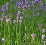 Echter Lavendel Bluete lila Lavandula angustifolia 07
