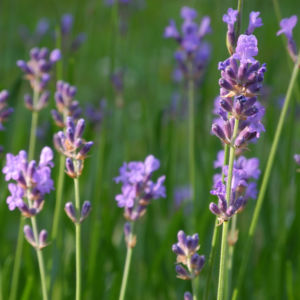 Echter Lavendel Bluete lila Lavandula angustifolia 09