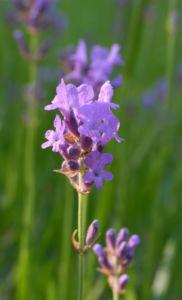 Echter Lavendel Bluete lila Lavandula angustifolia 10