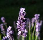 Echter Lavendel Bluete lila Lavandula officinalis 01