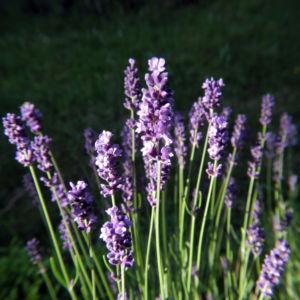 Echter Lavendel Bluete lila Lavandula officinalis 03