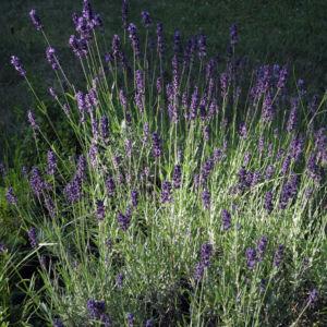 Echter Lavendel Bluete lila Lavandula officinalis 09