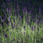 Echter Lavendel Bluete lila Lavandula officinalis 10